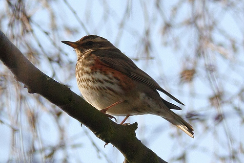redwing mark kilner